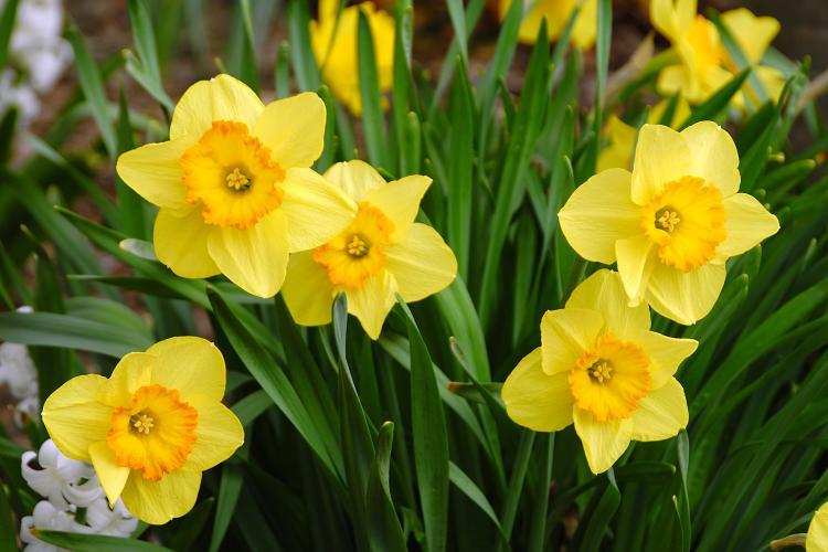 Daffodill March Birth Flower 2018