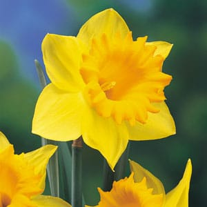 March 2018 Daffodil Birth Flower