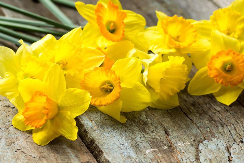March Birth Flower Daffodil